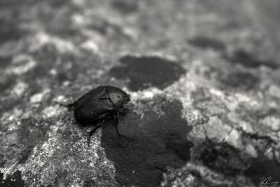 The Italian Dung Beetle