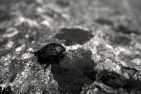 The Italian Dung Beetle